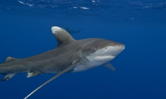 The Last Oceanic Whitetip Sharks