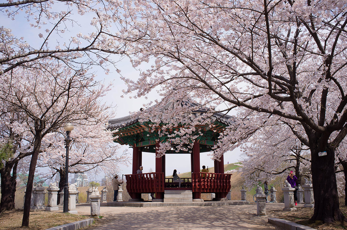 Image result for yeouido cherry blossom festival