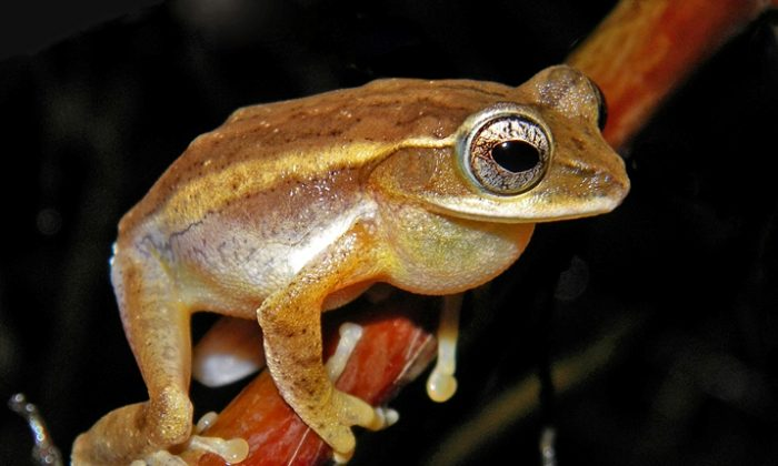 Two New Frog Genera Discovered in India