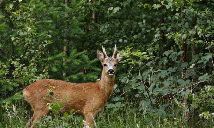 """The Chinese idiom """"point to a deer and call it a horse"""" refers to confounding right and wrong, deliberately misrepresenting the truth, or distorting the facts for ulterior motives. (Thijs Schouten/Photos.com)"""