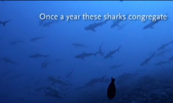 Sharks Dive Deeper During Full Moons: New Study (+Video)