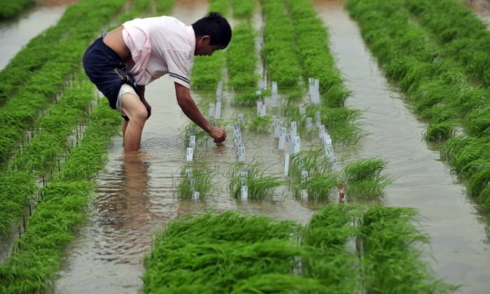 A Chinese researcher checks on the rice at a farm in Wuhan, central China, on June 11, 2011.  (STR/AFP/Getty Images)