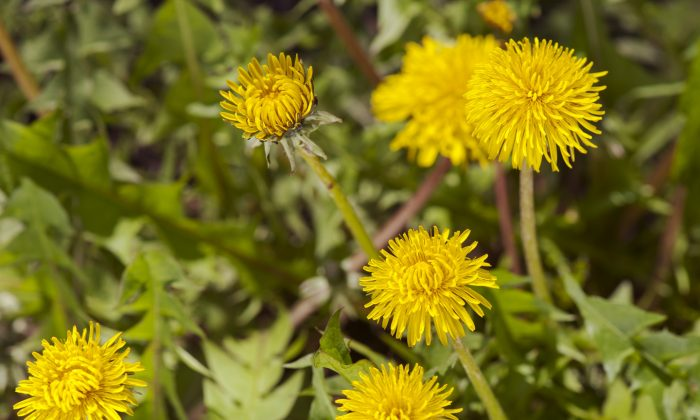 The dandelion is considered a weed by some, while others see it as a tasty addition to salads and other dishes. (Cat Rooney/The Epoch Times)