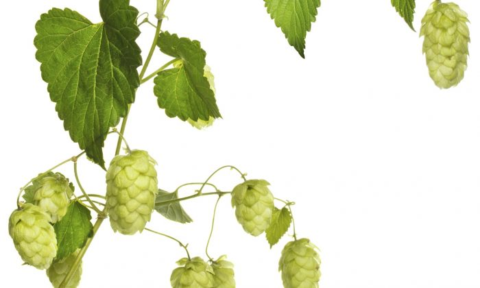 When taken as an herbal tea, hops will give all the positive effects of a home brewed beer without the intoxication and other side effects that come with alcohol. (Dmytro Sukharevskyy/photos.com)