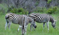 Oldest Zoo Zebra Dies: 37-Year-Old 'Citation' Euthanized in Portland Zoo
