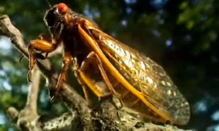17-year-cicadas emerge after nearly 17 years underground in a BBC special. (Screenshot via The Epoch Times)