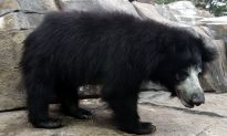 Bear Attack Leaves 1 Dead, 3 Injured in India