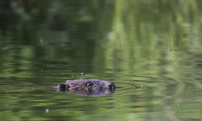 A beaver swims in a pond in the forest near the village of Lovtsevichi, 50 km ( 31,2 miles) north-west of Minsk, Belarus. A fisherman was bitten and later bled to death after trying to catch a beaver to have his photograph taken with him. (AP Photo/Sergei Grits)