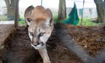 Colorado Mother Fights Off Mountain Lion That Had Her Son in Its Jaws