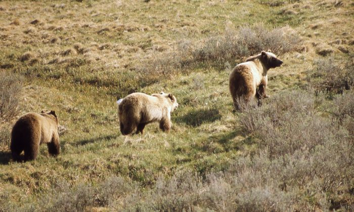 Grizzly bears in the wild. (NPS/GOV)