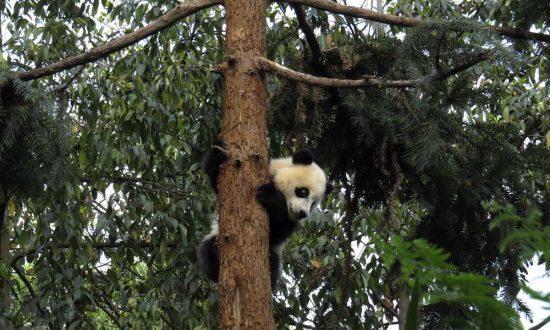 Chinese Vineyards Could Threaten Panda Habitat