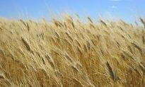 World Wheat Market Fears GMO Contamination