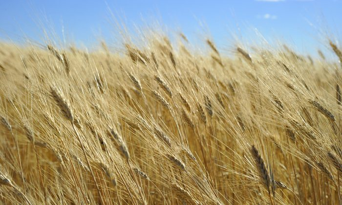 Wheat ready for harvest in North Dakota in this file photo. Unapproved genetically modified wheat found in Oregon, which prompted Japan, Korea, and Taiwan to temporarily suspend imports of wheat from the Pacific Northwest, appears to be isolated, according to the United States Department of Agriculture. (Karen Bleier/AFP/Getty Images)