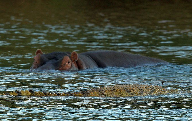 A crocodile drifts past a hippopotamus in the Limpopo river at the Pafuri game reserve in Kruger National Park, South Africa. The deadliest animal in the world, however, is a lot smaller than them. (Cameron Spencer/Getty Images)