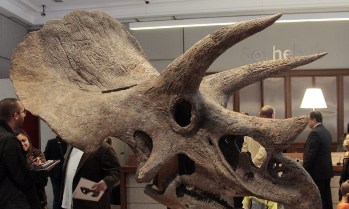 Triceratops Trio Found in Wyoming: Report