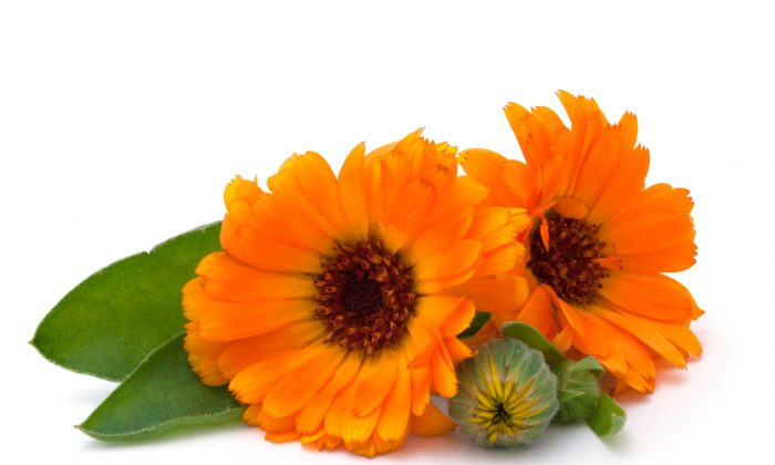 This photo shows the the common marigold (Calendula officinalis), a traditional herb to heal many ailments. (Kardash/photos.com)