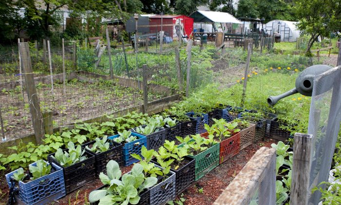 """The Hattie Carthan Community Garden in Bedford-Stuyvesant on June 10. The garden recently received city funding to run its farmer's market juice initiative to educate and provide nutrients for Brooklyn's """"fresh food desert."""" (Samira Bouaou/The Epoch Times)"""