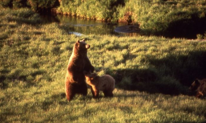 A grizzly bear and her cub are seen near Trout Creek at the Yellowstone national park, July 1964. (Bryan Harry/Yellowstone National Park)