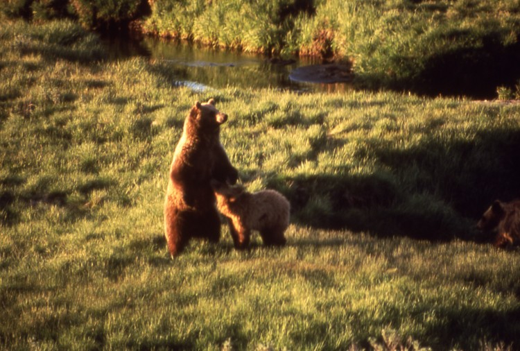 A grizzly bear and her cub are seen near Trout Creek at the Yellowstone national park, July 1964. (Bryan Harry/Yellowstone National Park).