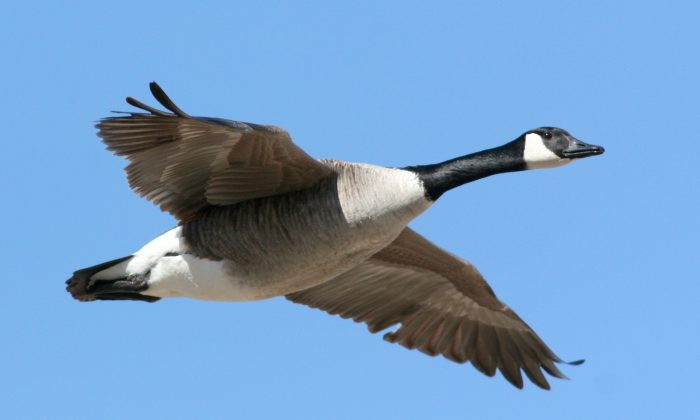 A Canada goose flies under a clear blue sky. In traditional Chinese culture, the wild goose symbolizes a letter or an exchange of correspondence due to its use by the ancient Chinese to carry messages over long distances. (Janet Forjan-Freedman/Photos.com)