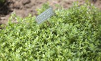 Thyme 'That Smells of Dawn in Paradise' (Part 2)