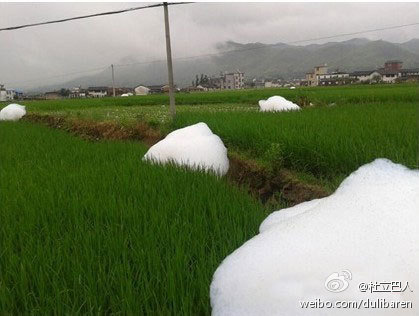 Cotton-Candy Monsters Appear in Rice Paddy. ( Weibo.com)