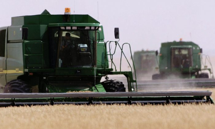 A farmer harvests his wheat field near Vulcan, Alberta. Genetically engineered wheat discovered on an Oregon farm should be a wake-up call for Ottawa because similar contamination could have crippling market effects in Canada, says a consumer group. (THE CANADIAN PRESS/Adrian Wyld)