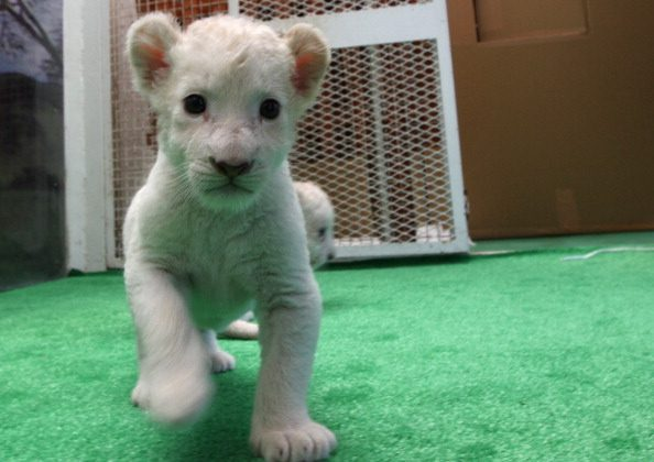 Seven White Lion Cubs Born in Japan