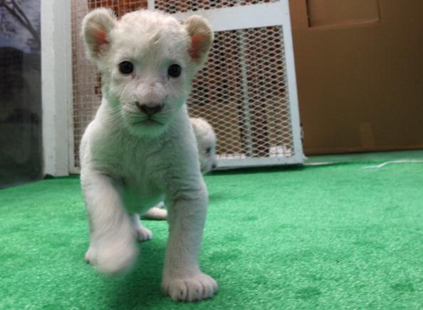 Seven White Lion Cubs Born in Japan