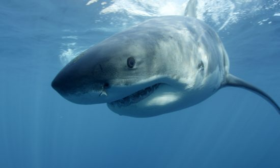 New Testing Methods Reveal Sharks Live Much Longer Than Previously Thought