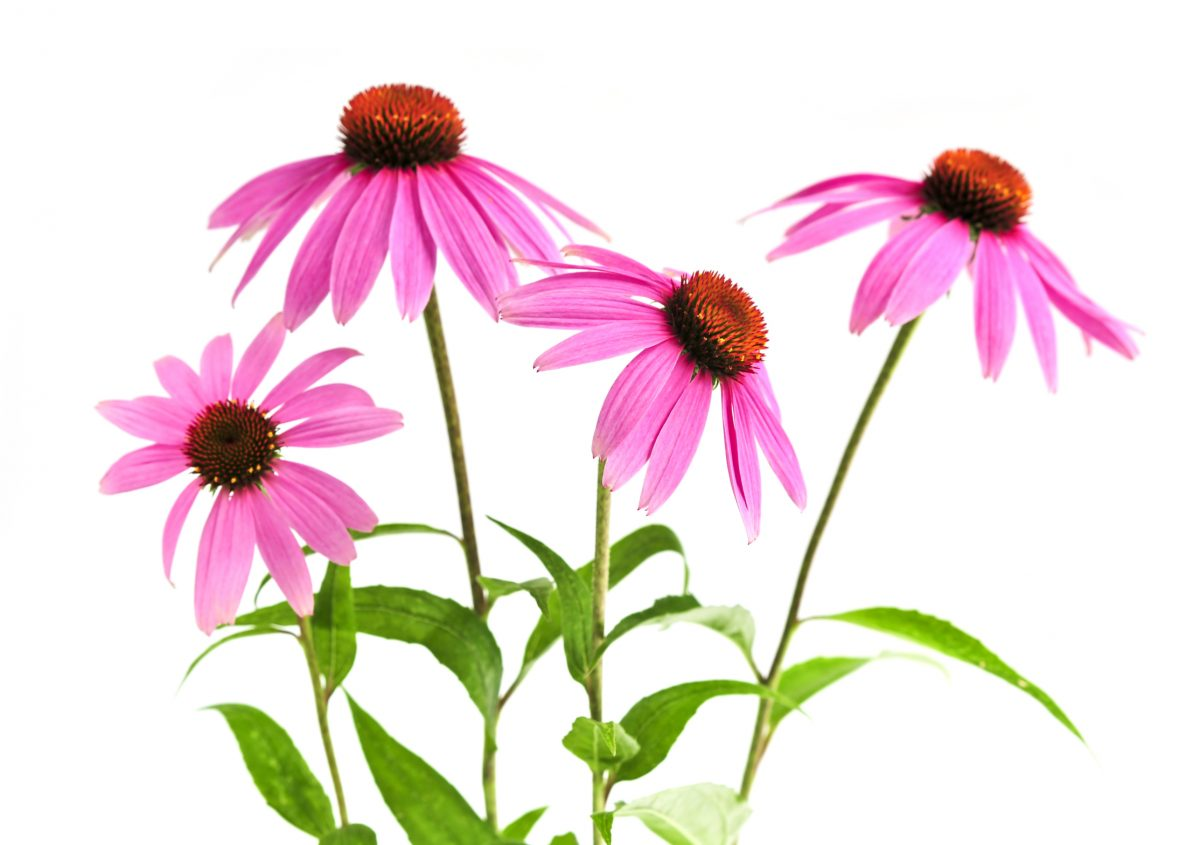 echinacea literature review Mediherb has developed specialized knowledge in the manufacture and testing  of echinacea products over the past 20 years this includes a phd study,.