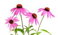 Echinacea Stimulates Immunity