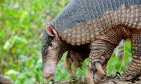 A Look at Little-Known Giant Armadillos