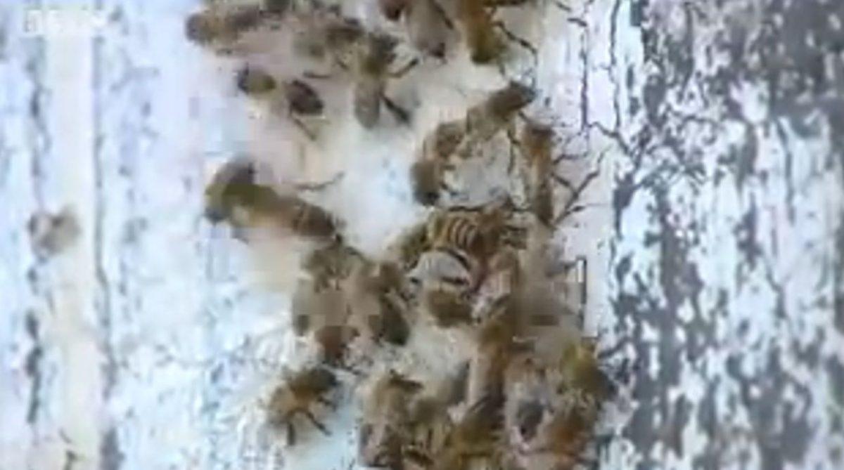 'Killer' Bees Kill Horses, Hens in North Texas