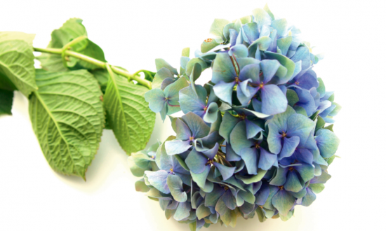 Hydrangea: An Herbal Treatment for Kidney Stones