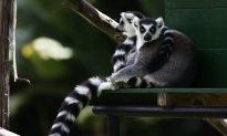 The Disturbing Backstory to the 'Cute Lemur' Viral Video