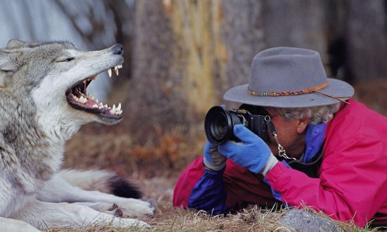 10 Lessons From Wolf Families (+Photos)