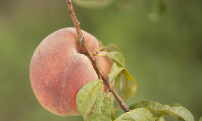 A freestone variety peach at Gieringers Orchard in Edgerton, Kan. (Cat Rooney/Epoch Times)