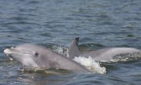 Dolphin Deaths Spike, Infection Likely: Flashback to 1987 Deaths