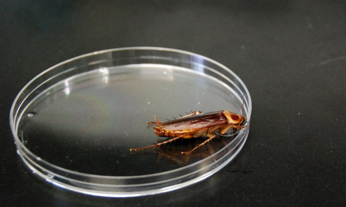 The Periplaneta americana, or American cockroach, seen here in a petri dish. (Zakee Sabree/National Science Foundation)