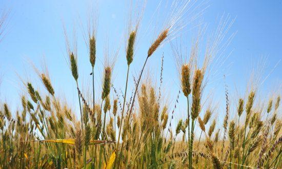 GMO Field Trials: Contamination Concerns