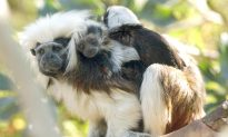 Monkey Whispering: In Face of Potential Threat, Tamarins Lower Their Voices