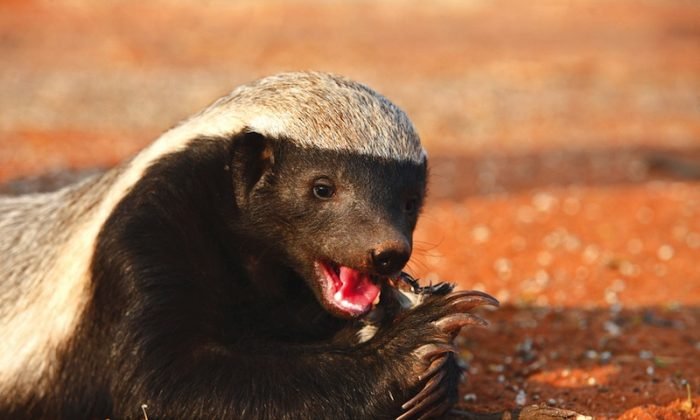 Honey badger eating (Shutterstock*)