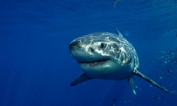 dangerous sharks wwwpixsharkcom images galleries