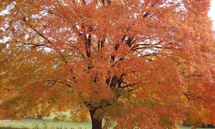 Fiery fall foliage (Cat Rooney/Epoch Times)