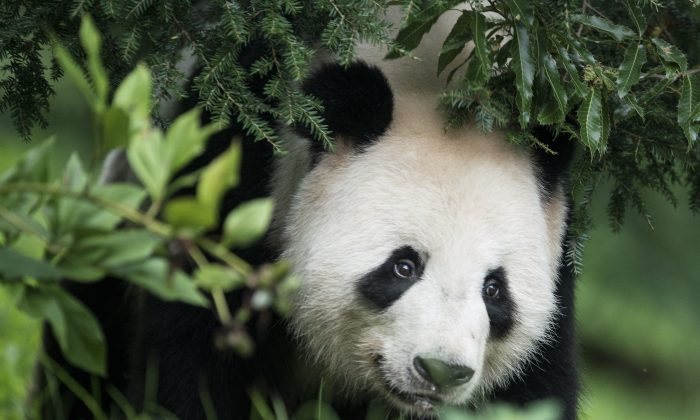 """Giant Panda Tian Tian is seen at the Giant Panda exhibit at the Smithsonian's National Zoo his mate Mei Xiang rests indoors Aug. 7, 2013 in Washington, DC. A new study holds that the 50 pandas on loan around the world are aimed at building deep, long-lasting relationships in exchange for """"trades and foreign-investment deals."""" (Brendan Smialowski/AFP/Getty Images)"""