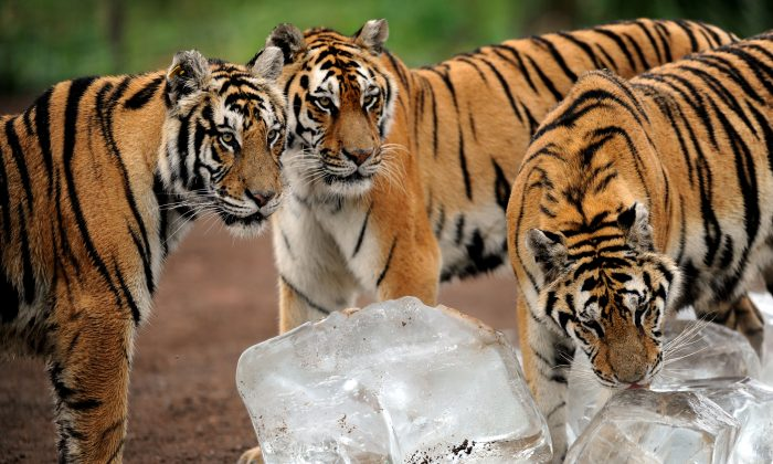 This picture taken on Aug. 12, 2013, shows Siberian tigers licking ice cubes to cool off in Guaipo Siberian Tiger Park in China.  (STR/AFP/Getty Images)