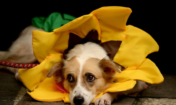 A dog dressed as a sunflower rests on the ground during the Scaredy Cats and Dogs Halloween costume competition in Manila, Philippines on Oct. 26, 2013. The annual Halloween event aims to raise funds to help animal rights group, Philippine Animal Welfare Society's (PAWS). (Noel Celis/AFP/Getty Images)