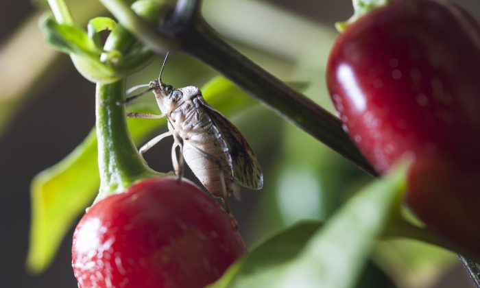 Stink bugs in record numbers are expected in multiple parts of the United States. Here, a  brown marmorated stink bug feeds on a red pepper plant in an Oregon State University lab in Corvallis. (Lynn Ketchum/Oregon State University)