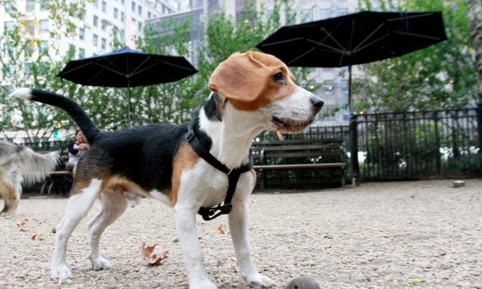 Achilles plays at the Madison Square Park dog run in New York City on Oct. 6, 2013. (Ivan Pentchoukov/Epoch Times)